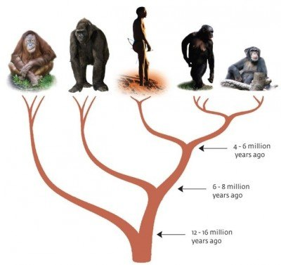 ape_evolution