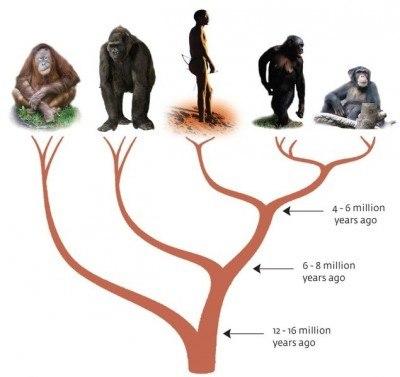 ape_evolution